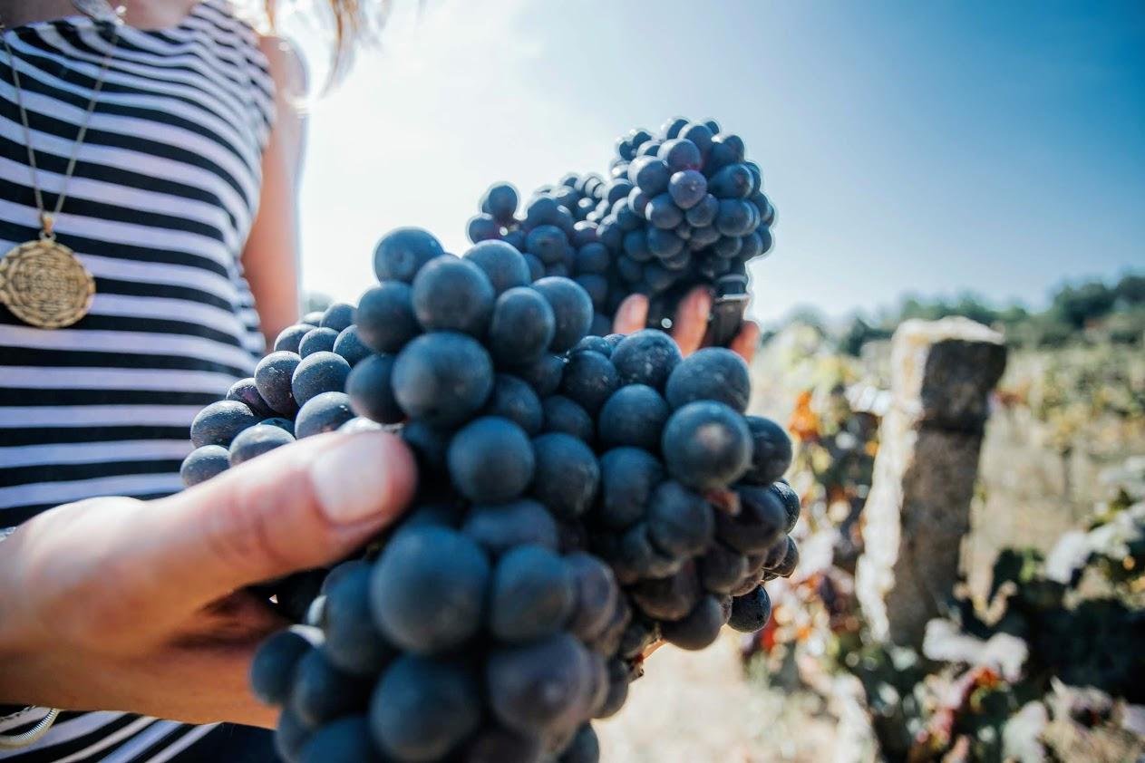 Wine Harvest Experience